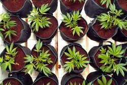 ¿Qué semillas de marihuana germinan más rápido?