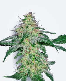 ¿Qué semillas de marihuana recomendadas comprar?