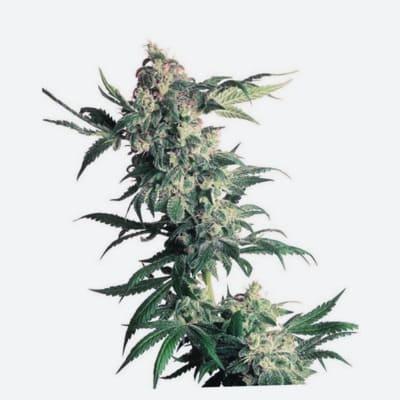 ¿Qué semillas de marihuana son mejores para reírse?