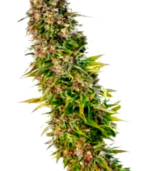 ¿Qué son las semillas de marihuana BCN Seeds autoflorecientes?