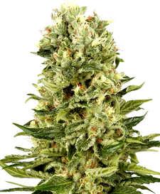¿Qué son las semillas de marihuana Power Kush de Dinafem?