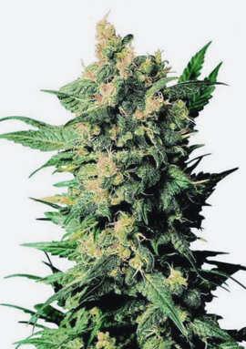 ¿Qué son las semillas de cannabis Top Tao Seeds regulares?