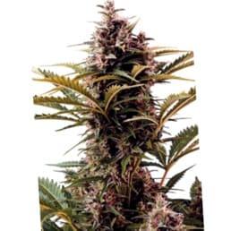 ¿Qué son las semillas White Widow XXL Autoflowering de Dinafem?