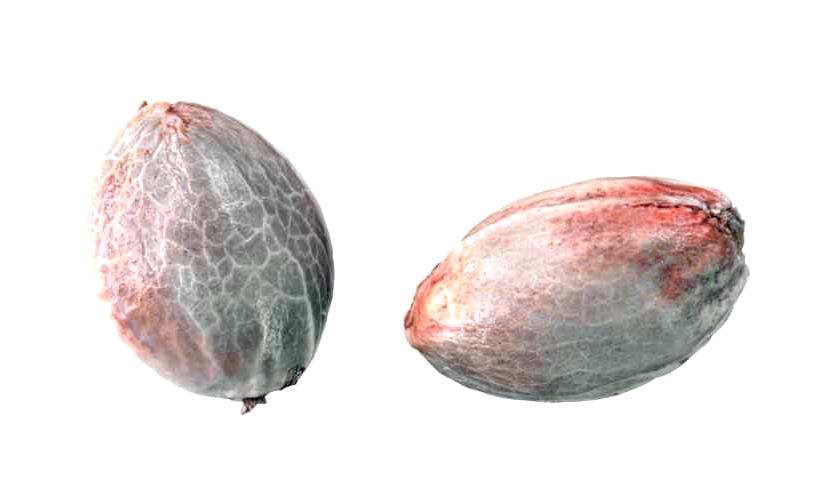 Comprar Semillas Expert Seeds Autoflorecientes