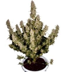 Beneficios de Homegrown Fantaseeds Autoflorecientes