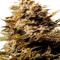 Semillas de cannabis La Katana