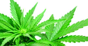 Semillas de marihuana Blue Rhino del banco Positronics