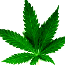 Semillas de marihuana feminizadas de Dr Underground