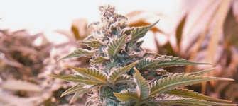 Semillas de marihuana Reggae Seeds baratas