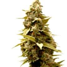 Catálogo completo de las Semillas Sweet Seeds Autoflorecientes