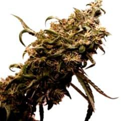 ¿Cómo son las semillas Super Bud baratas?