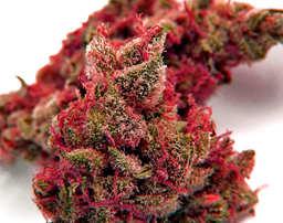 Top 5 de las mejores semillas de cannabis Northern Light