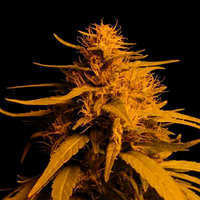 Trucos para germinar semillas de marihuana en macetas