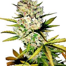 Venta de semillas de marihuanaautoflorecientes al mejor precio