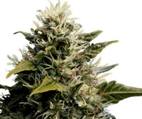 Ventajas de cultivar semillas demarihuanaen Exterior