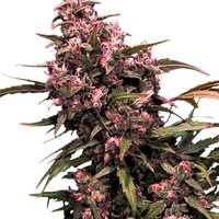 Ventajas de las semillas demarihuana Black Domina