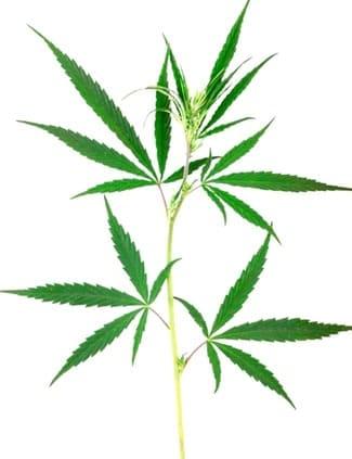 Ventajas de las semillas de marihuana feminizadas Eva Seeds