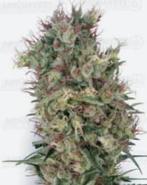 Ventajas de las semillas de marihuana regulares TH Seeds